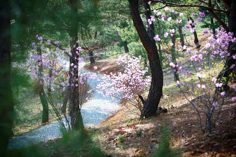 Another hiking trail in Wolmyeongdong decorated with pink flowers, pine trees, and refreshing air!